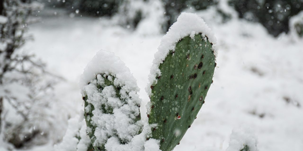 Cactus covered in snow